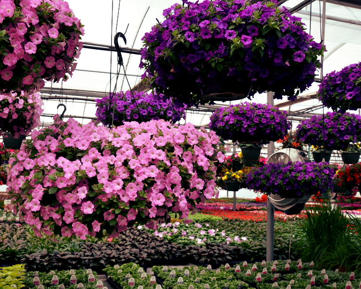 Supertunia Hanging Baskets