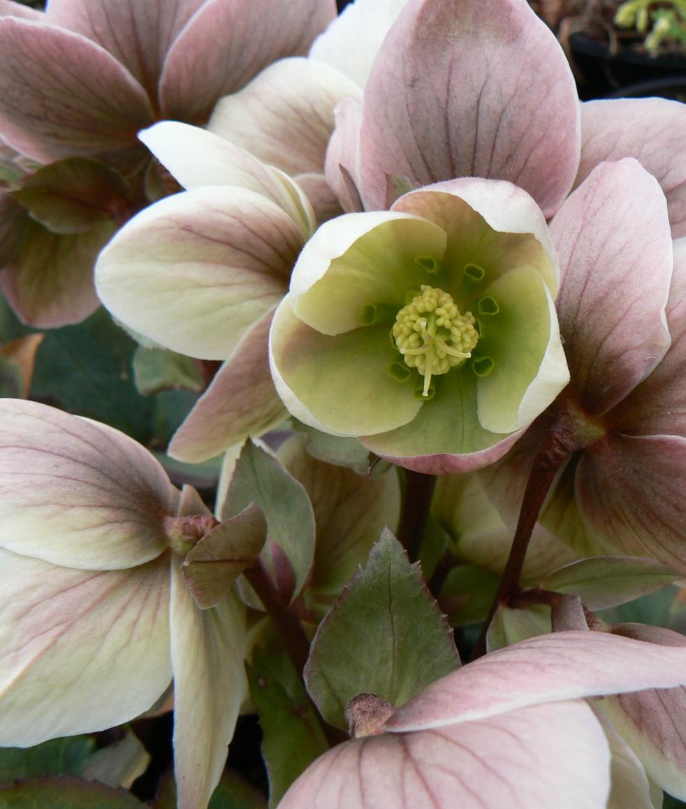 springflower.JPG