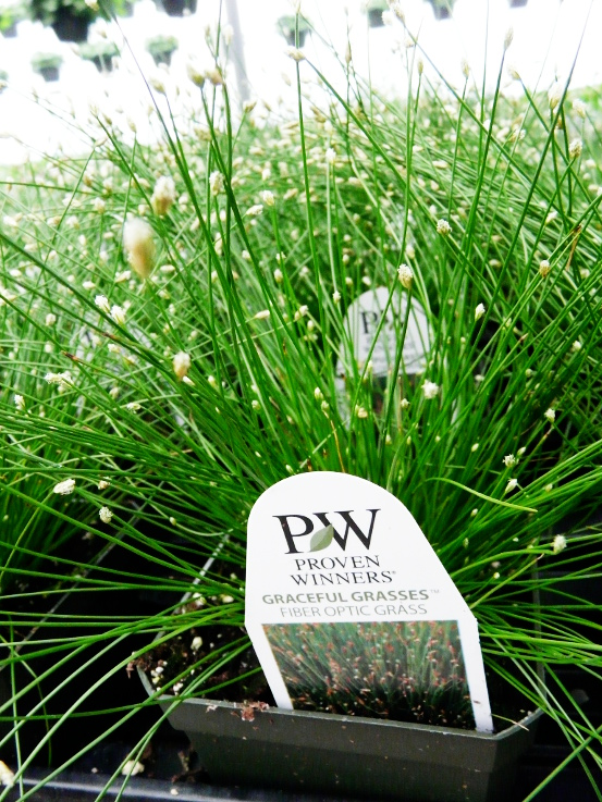 fiberopgrass.JPG
