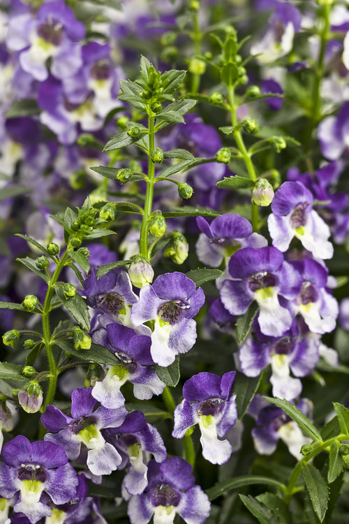 Angelonia Wedgwood Blue