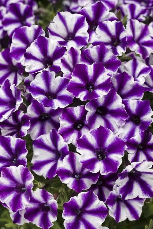 Violet Star Charm