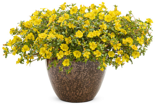 Portulaca Purslane Mojave Yellow