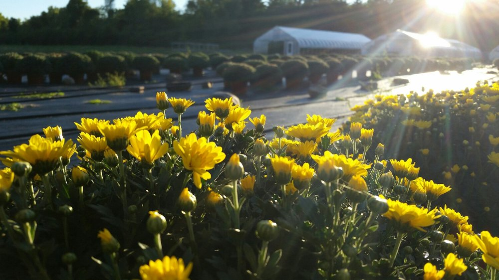 Our first planting of Mums is in full bloom! Keep the color going all season with later varieties that bloom through October.