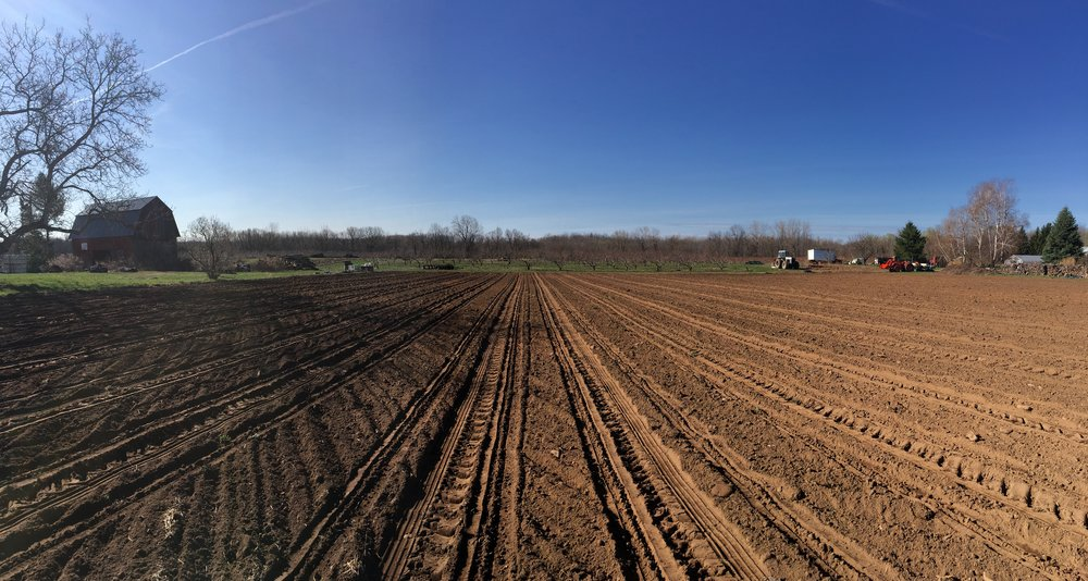 Beautiful morning sun gracing our first pea planting.