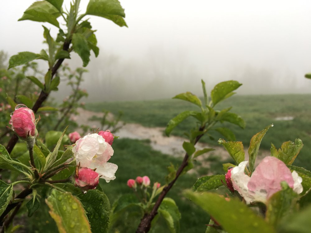 Apple blossoms strutting their stuff to no avail.