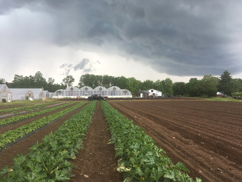 Zucchini plants so thick and green you can't even see the plastic. Some rolling storm clouds above from this past week