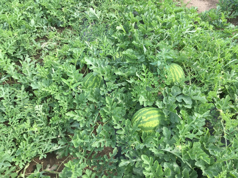 Seedless watermelon plumping up.