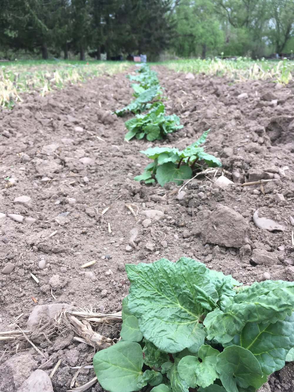 Brand new rhubarb patch enjoying the spring heat.