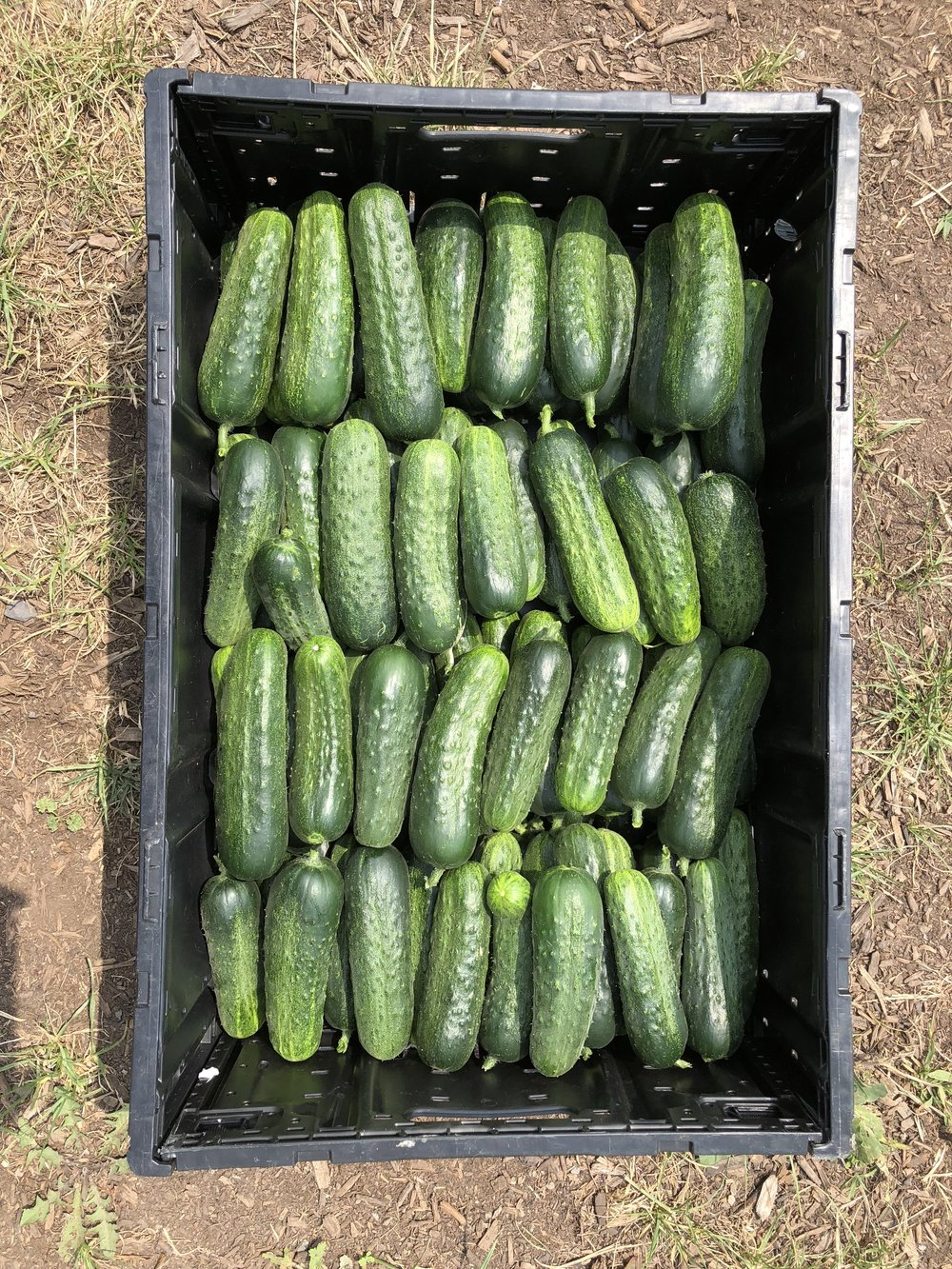 Seedless pickling cucumbers (pickles) from the high tunnel.