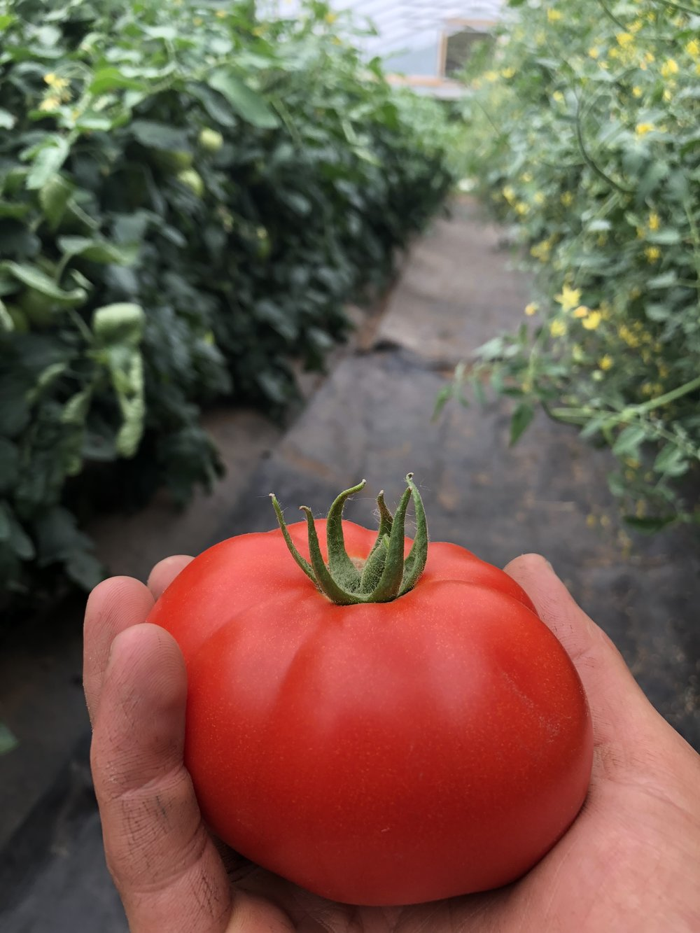 A red beefsteak tomato ripe for the picking.
