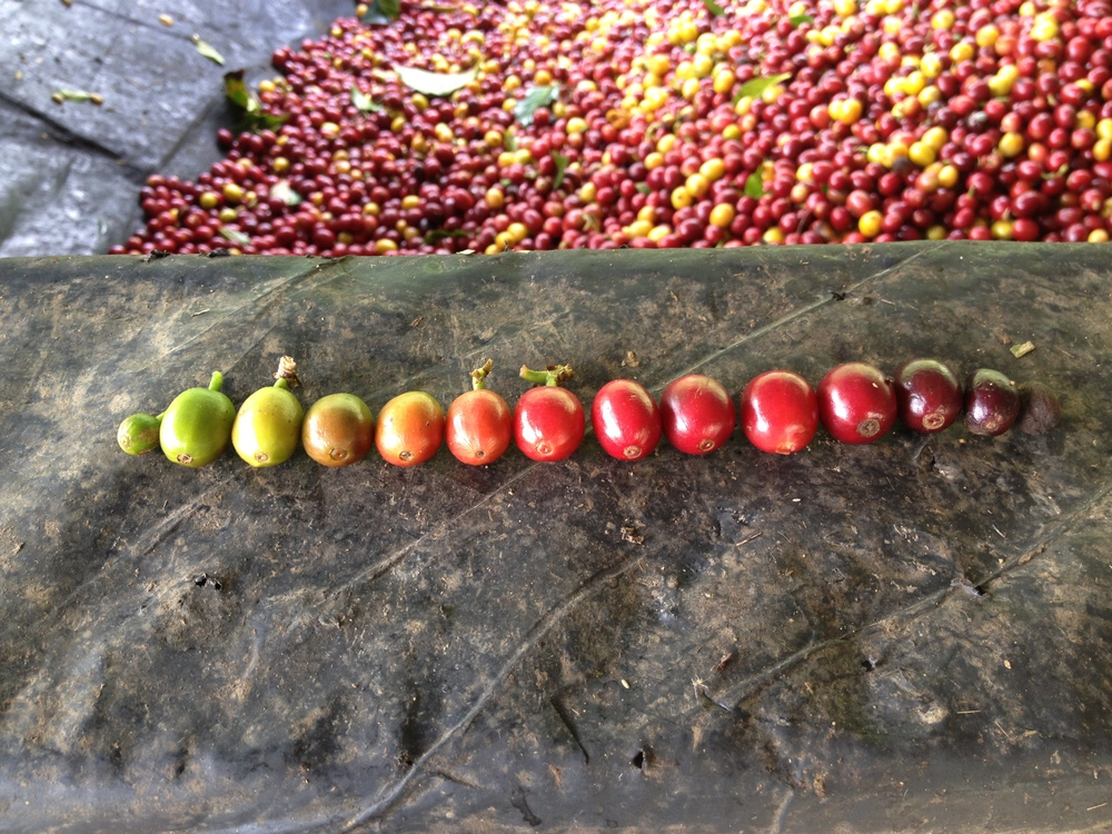 The Coffee Rainbow This exercise at the cherry hopper allows us to show growers how important it is to pick only ripe cherries