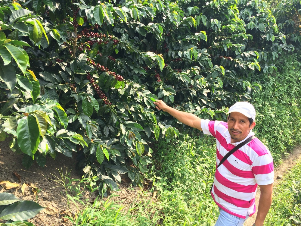 Jhon Freddy Lizcano showing some ripe cherries on his farm in La Plata, Huila