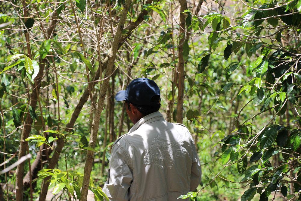 Coffee farmer walking amongst his trees. (Vilcabamba, Cusco. Photo credit: Alejandro Cadena)
