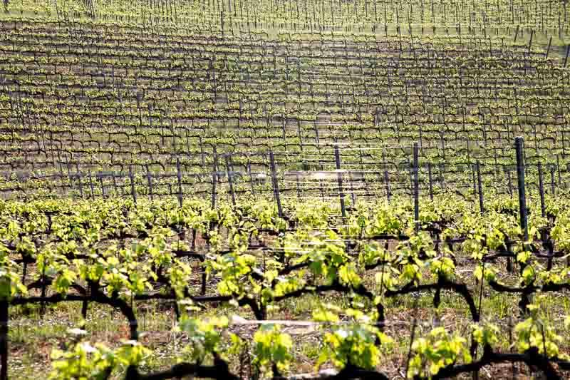 Italy Vineyard.jpg