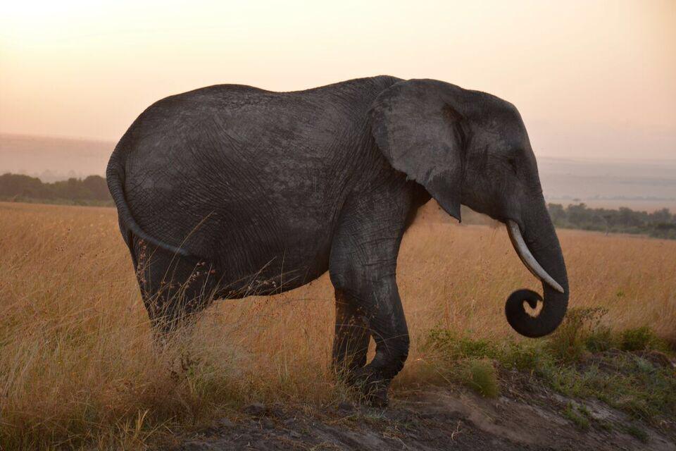 Elephant .png