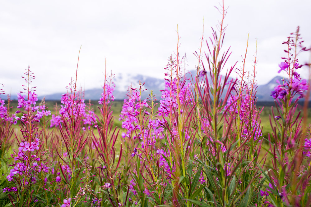 Fireweed!  You will see places that actually turn this into different products like fireweed jelly!