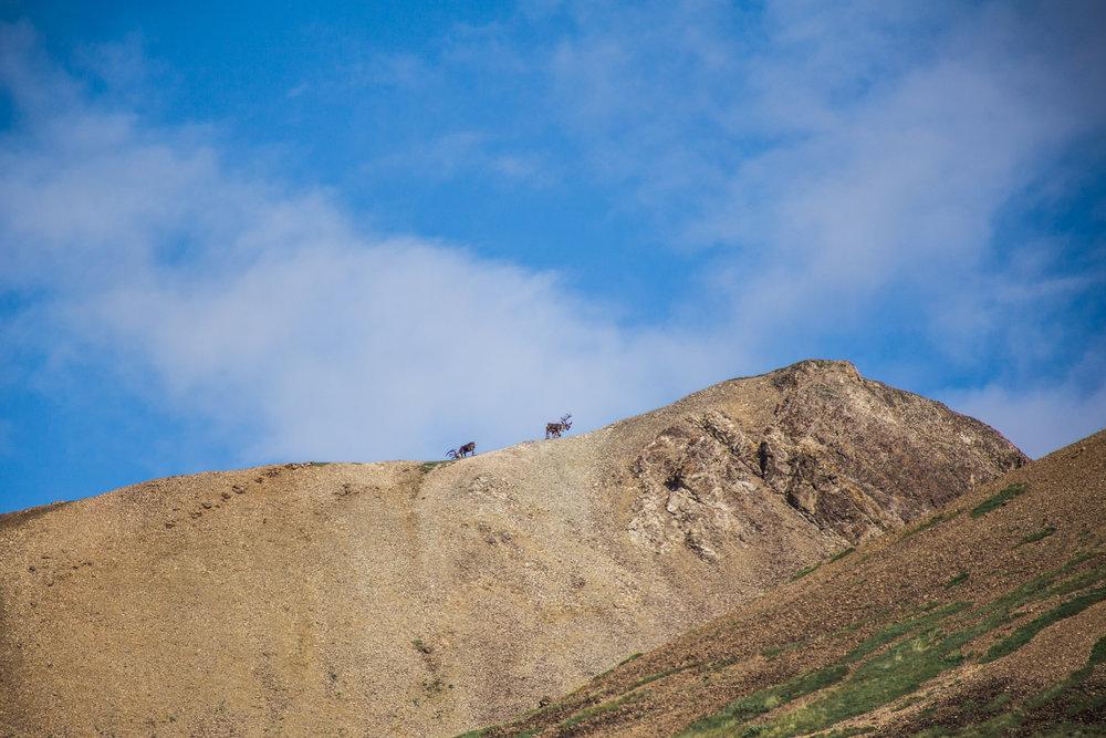 Denali National Park - Carabou Sighting