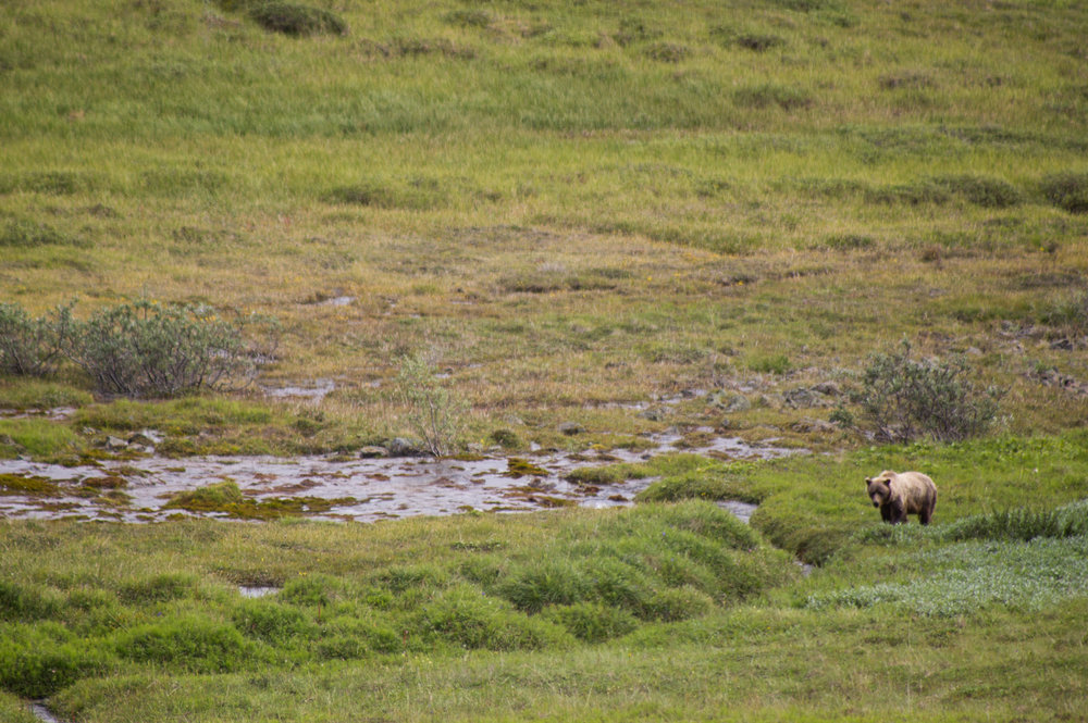 Danali National Park - Brown Bear Sighting