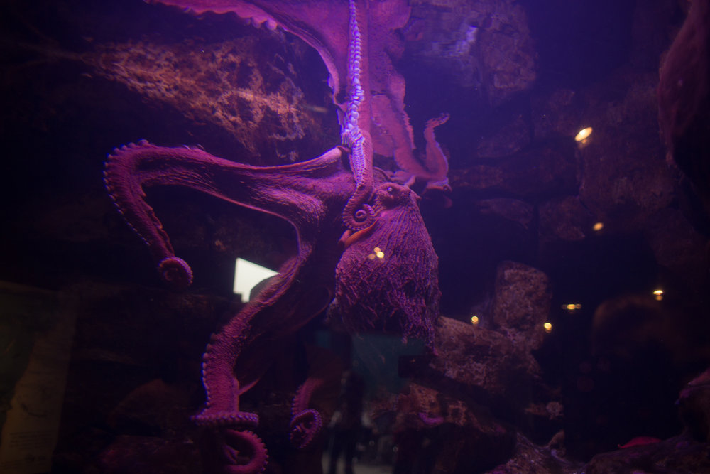 This octopus, is worth going and observing all by itself for as long as you can get away with it. He is utterly fascinating.