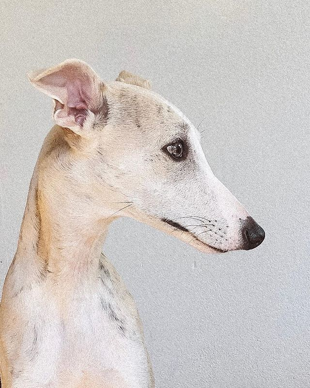 """He is a gentle soul. I'm very lucky to have this furry friend in my life. He is such interesting dog with a lot of personality.  @kellycanthang suggested caption: """"I like my dog more than I like you"""". #whippet #whippetpuppy #9monthwhippet"""
