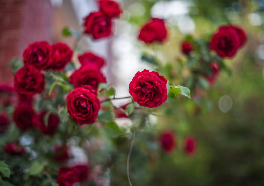 roseisred