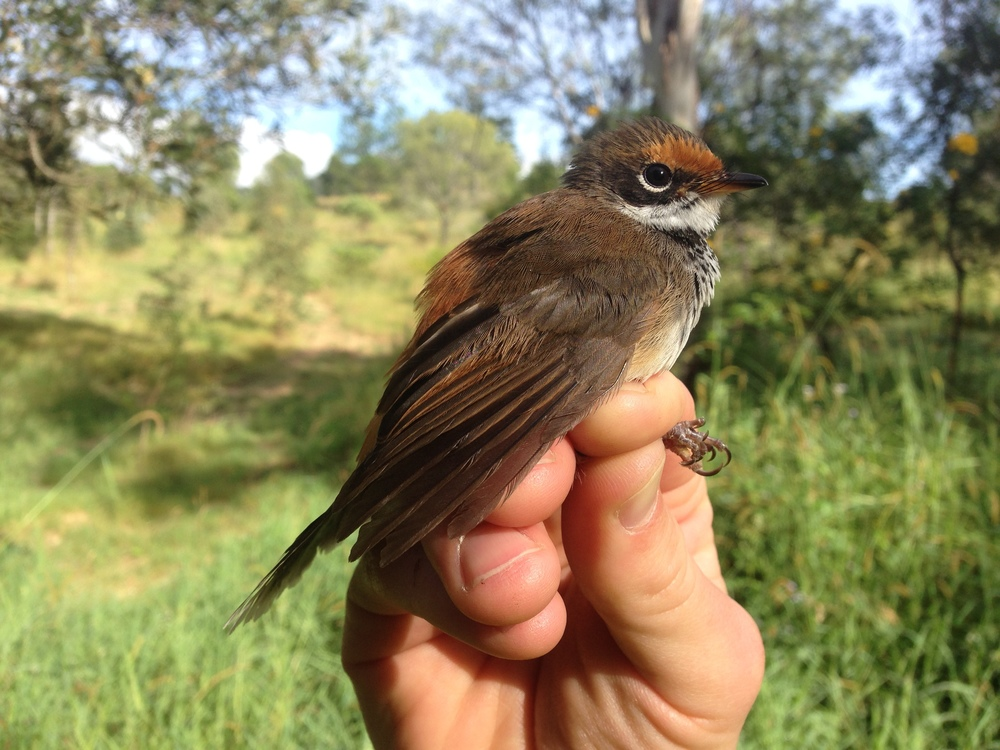 Rufous Fantail. These guys are normally a higher elevation rainforest species but during the winter they come down to lower elevations, like where our study site is at.