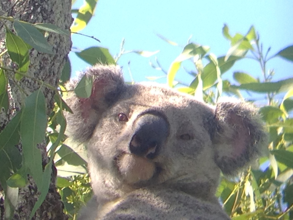Found this koala on our study site! Took the photo through my binoculars with my phone since I didn't have my camera with me.