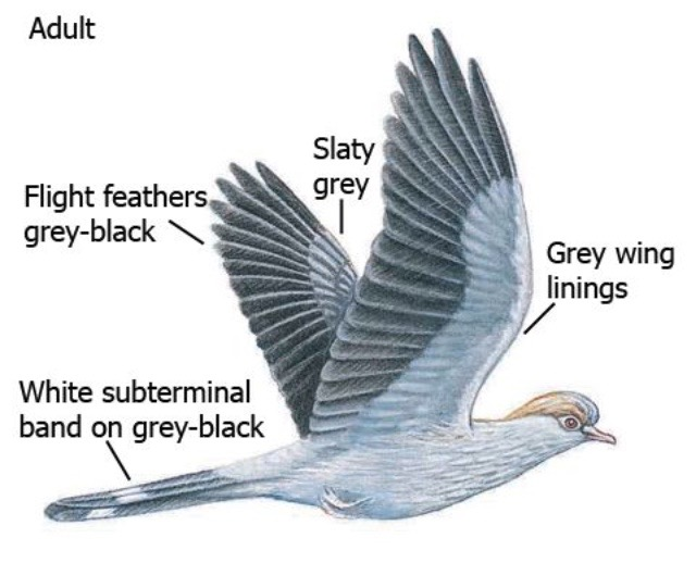 Topknot Pigeon.