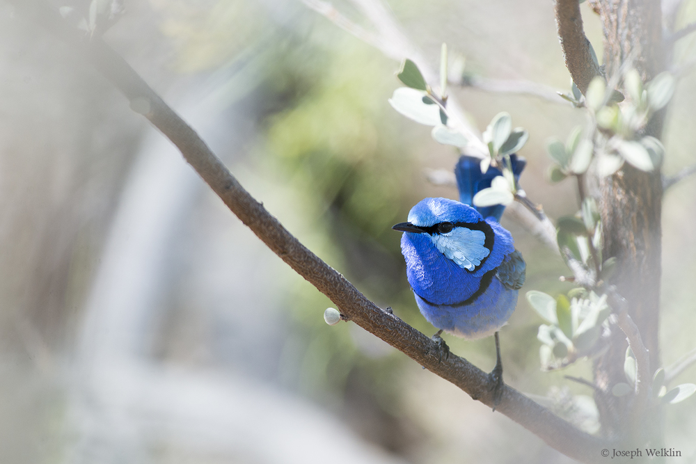 Male Splendid Fairy-wren. Photographed in September in Western Queensland.