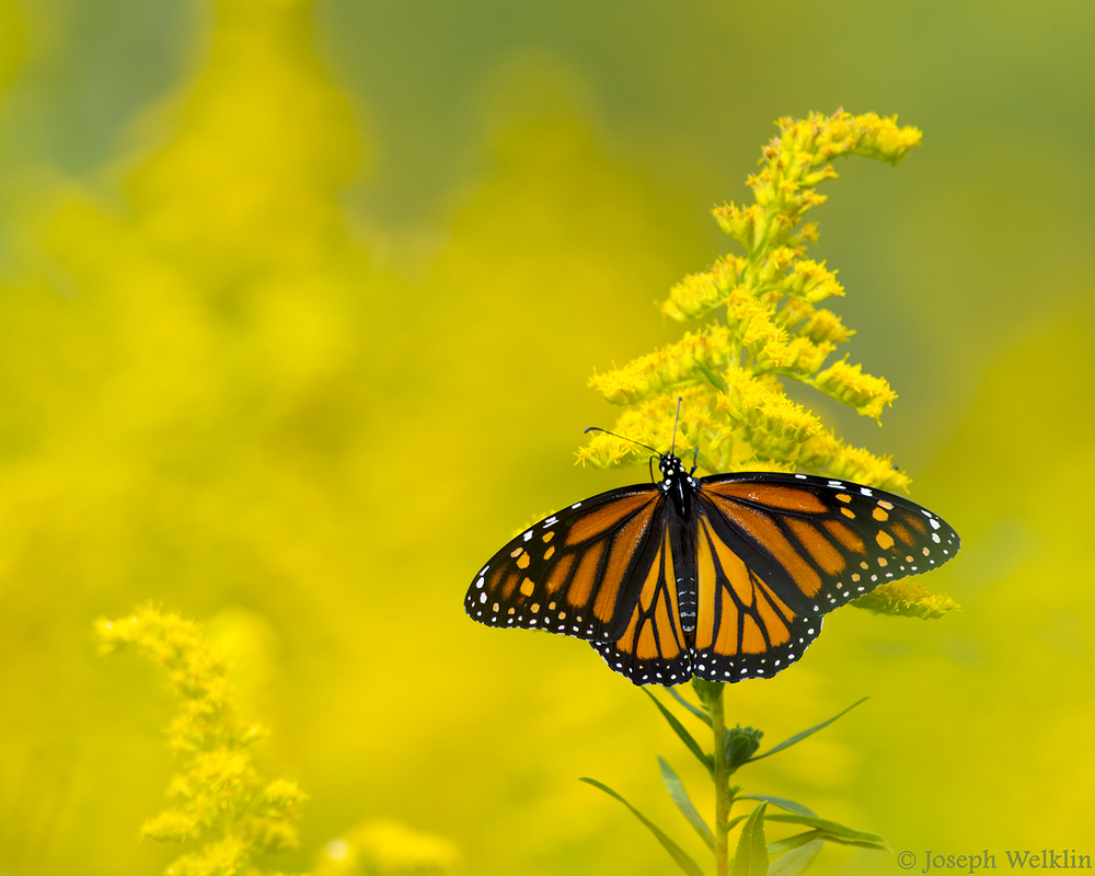 Monarch Butterfly on Goldenrod.