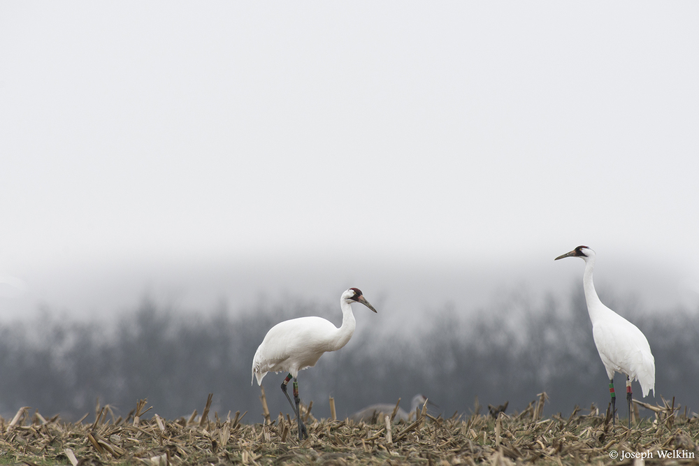 Whooping Cranes - There are only around 600 individuals left in the wild today. The population declined to 15 birds in the 1940s but breeding programs and habitat management have slowly allowed their numbers to increase.