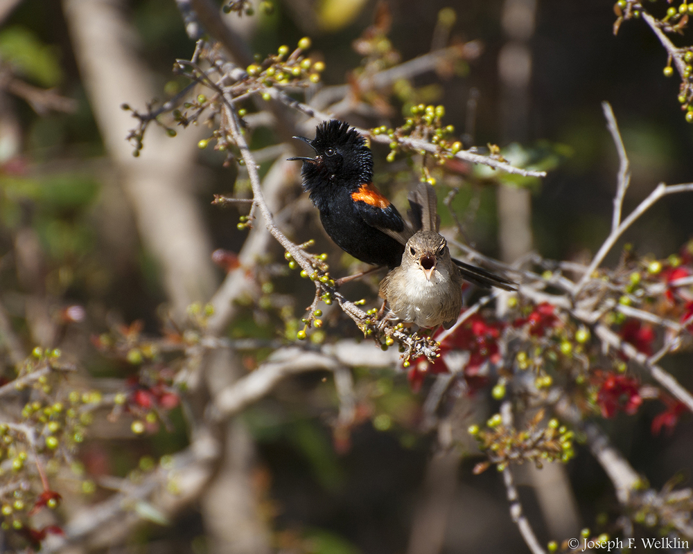 A male and female red-backed fairy-wren duet in response to playback of a male's song. Photographed in Samford, Australia.