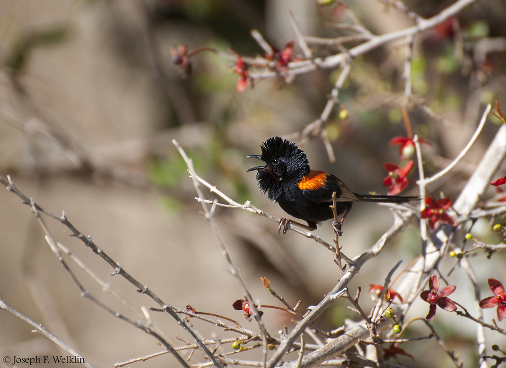 A male Red-backed Fairy-wren responds to a territorial intrusion.