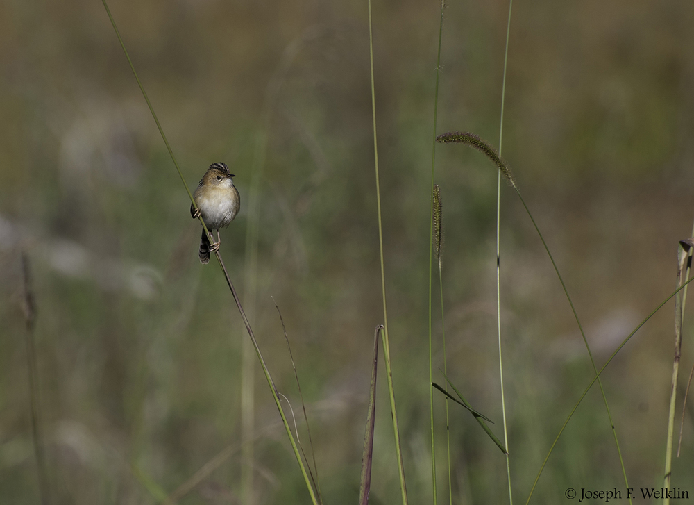 Golden-headed Cisticola, near Samford, Australia