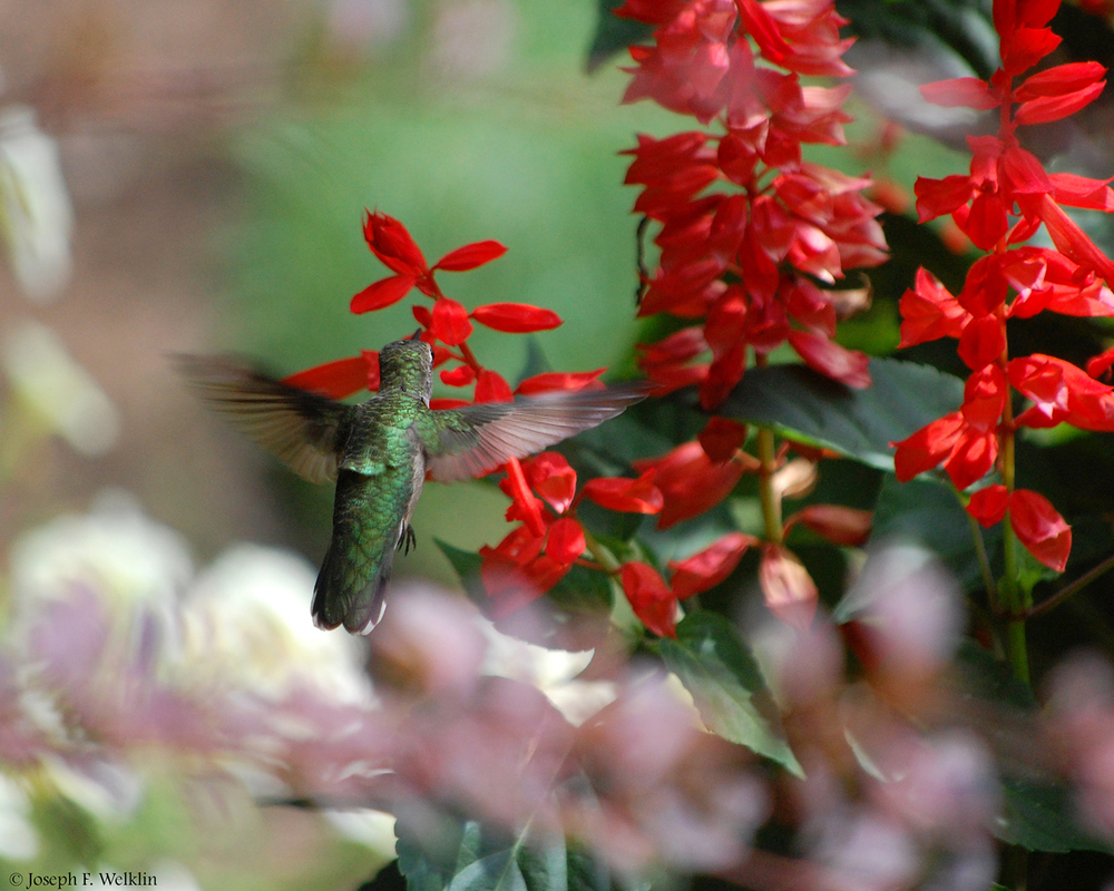 Ruby-throated Hummingbird, Noblesville, IN.