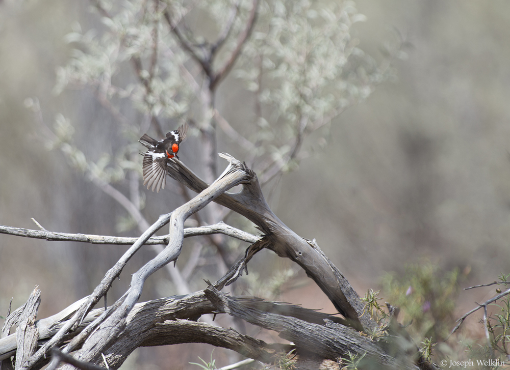 Red-capped Robin. Western Queensland, Australia.