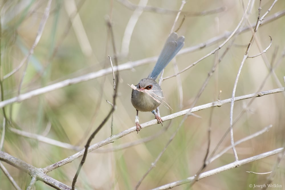 A female Variegated Fairy-wren with nesting material. She wasn't too happy that I interrupted her nest building but I quickly backed off.