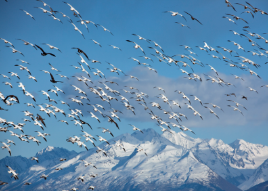 Snow Geese and Mt. Palmer