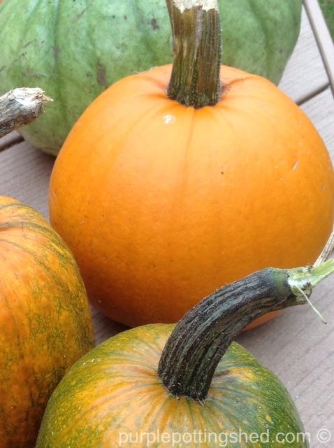 Pumpkin, pie pumpkin.jpg