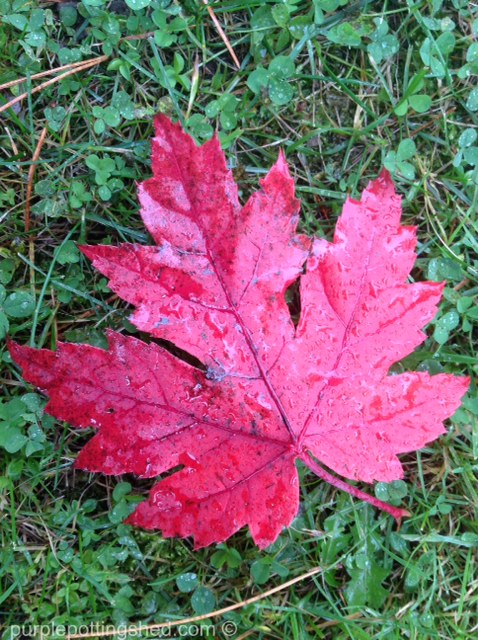 Maple leaf, crimson.jpg