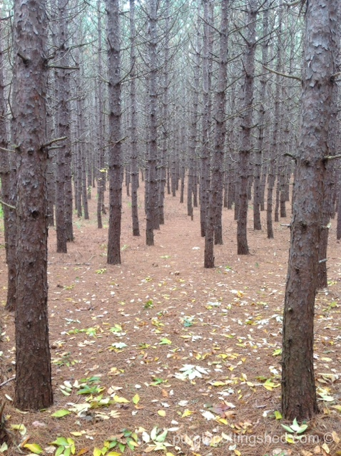 Forest of pines in fall.jpg