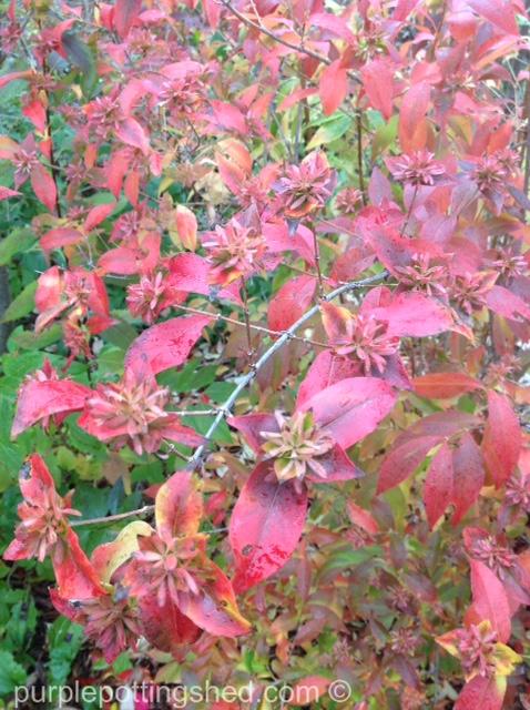 Abelia, autumn colour.jpg