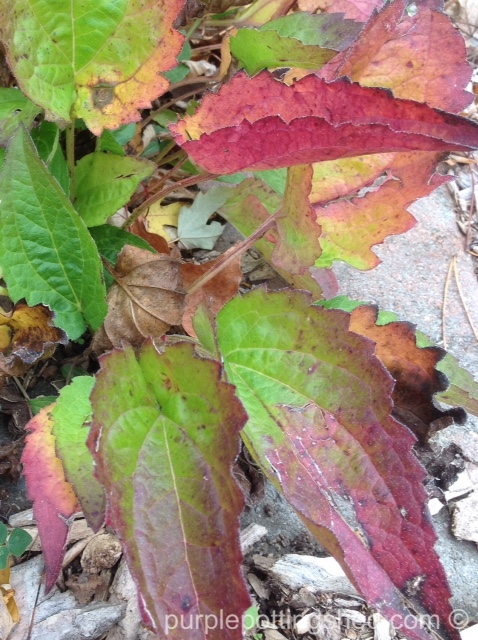 Rudbeckia foliage in October.jpg
