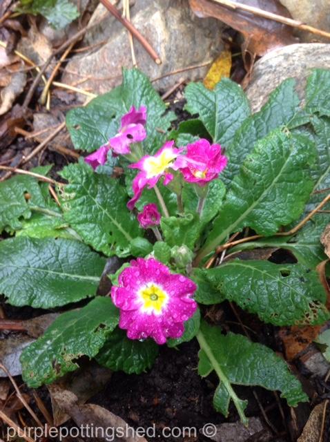 Primula in October.jpg