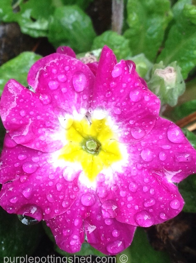 Primula up close, October.jpg