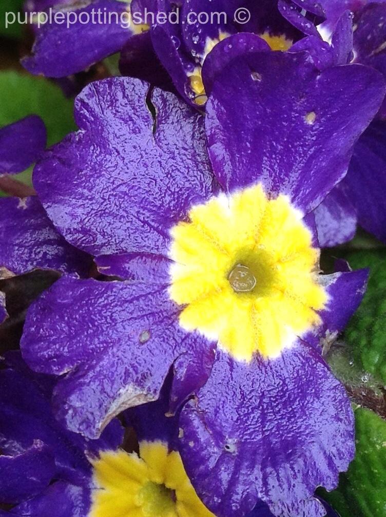 Primula purple up close, in October.jpg