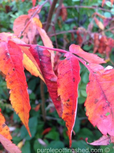 Sumac autumn colour.jpg