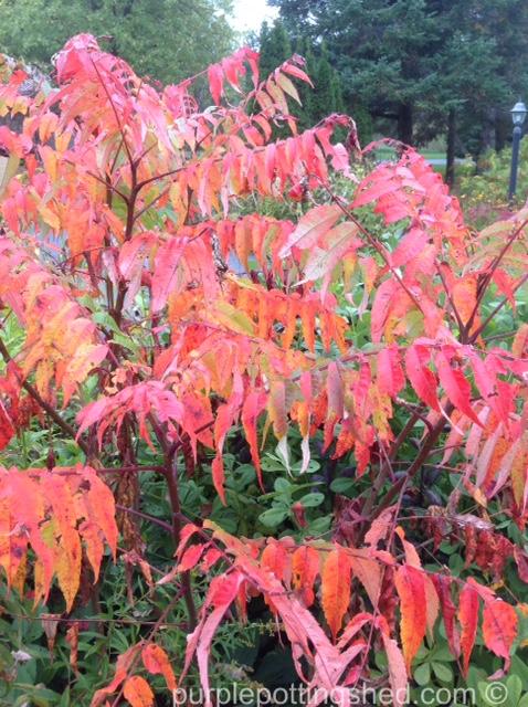 Sumacs in autumn.jpg