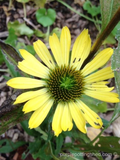 Cone flower, autumn.jpg