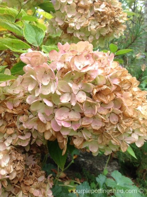 Hydrangea in autumn.jpg